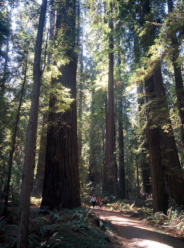 ca-redwoods1